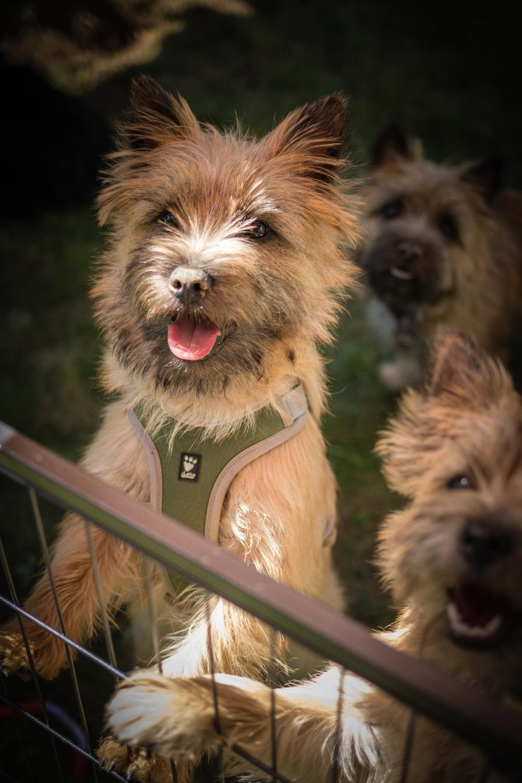 Cairn Terrier Schukat Home